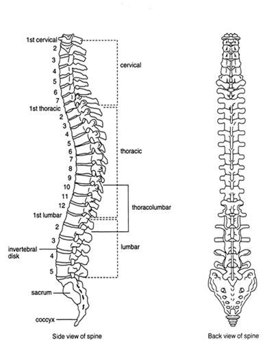 labelled diagram  spinal vertebral column side view
