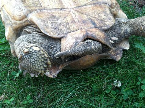 sulcata tortoise bedding sulcata tortoise habitat ideas related keywords sulcata