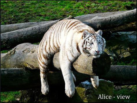 white tiger iii  alice view  deviantart