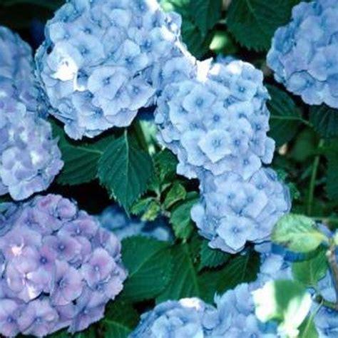 feeding hydrangeas in pots 25 best ideas about hydrangea fertilizer on garden soil care of hydrangeas and