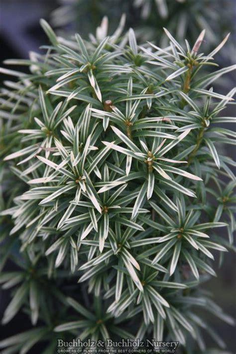 taxus baccata silver spire dwarf silver sparkling