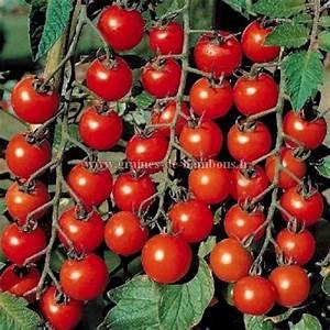 Quand Planter Les Tomates Cerises : graines de tomate ancienne rose de berne ou berner rose ~ Farleysfitness.com Idées de Décoration
