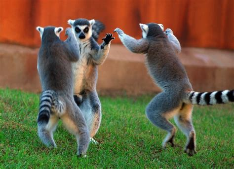 lemur funny flickr tailed ring poses lemurs animal animals leaping viernes dancing korea floridapfe fin pro ya create dance south
