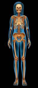 Illustration Of The Human Skeletal