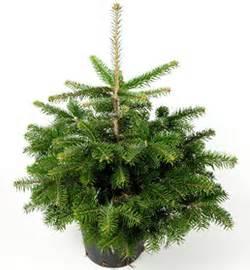 tannenbaum im topf kaufen herr daetwyler welche arten eignen sich am besten als weihnachtsbaum im topf und bis zu welcher