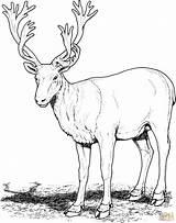 Deer Coloring Caribou Pages Reindeer Realistic Clipart Cariboo Buck Adults Clip Para Printable Colorear Mule Drawing Rocks Deers Adult Categories sketch template