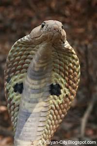 The gallery for --> King Cobra Snake Striking