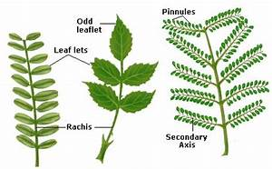 Leaf | Simple and Compound Leaves | Palmately Compound ...