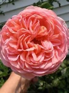 Rosen Kaufen Günstig : englische rosen g nstig in top baumschulqualit t kaufen baumschule new garden ~ Markanthonyermac.com Haus und Dekorationen