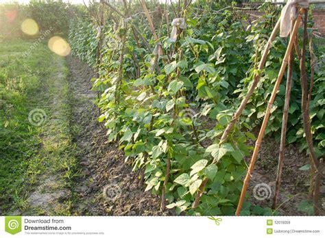 anbauen der bohnen stockbild bild von wachstum cultivate
