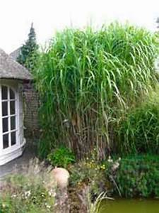 Sichtschutz Pflanzen Winterhart : hoher sichtschutz winterhart miscanthus floridulus ~ Michelbontemps.com Haus und Dekorationen