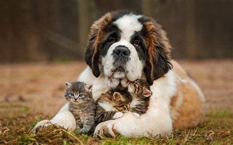 saint bernard puppy hugs newborn   kittens