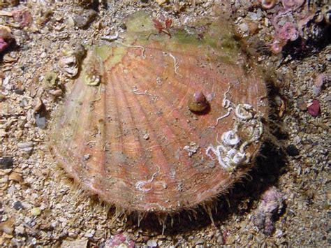 Mollusca Scallops Gallery