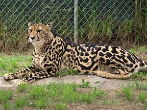 King Cheetah | Apparently there are only about twenty king ...