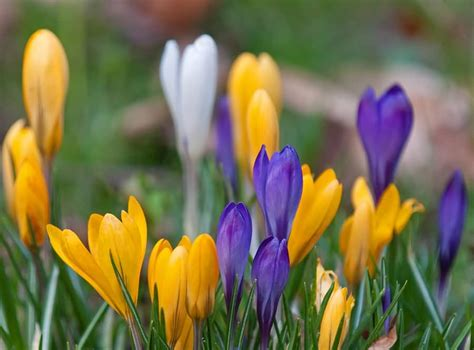 pictures of crocus 50 most beautiful crocus flower collection golfian com