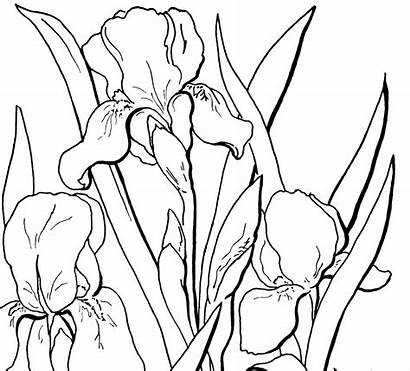 Coloring Adult Floral Iris Fairy Pages Flowers