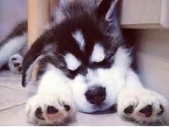 Sleeping Husky Puppy    So Cute    Too Cute   Pinterest  Adorable Husky Puppy Sleeping