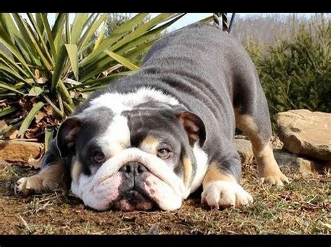 Blue English Bulldog Shrinkabulls Blue Legacy Cher Lloyd You