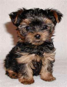 Do Cockapoo Dogs Shed Hair yorkshire terriers images yorkie terrier wallpaper and