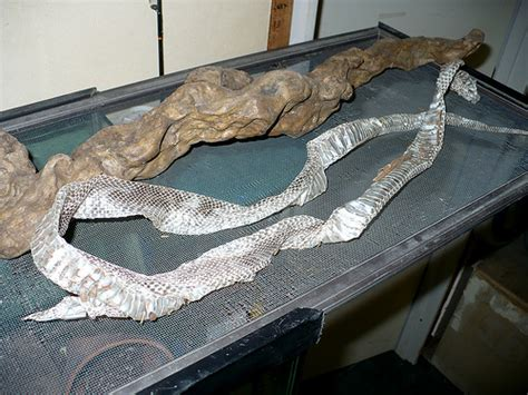 Python Shedding Tips by How To Care For A Shedding Snake 4 Steps With Pictures