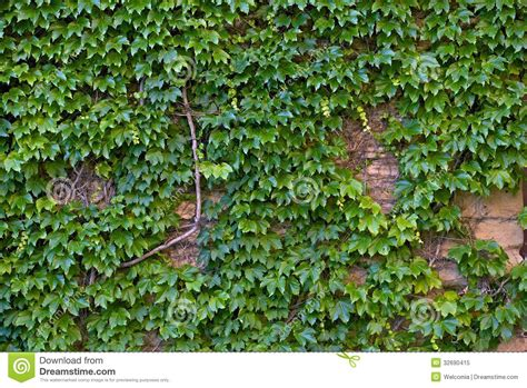 ivy wall stock image image  deco background genus