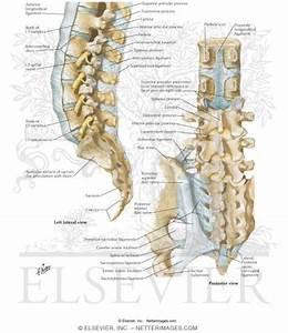 Vertebral Ligaments: Lumbosacral Region