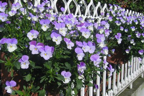 fiori le viole coltivare le viole pensiero per chi ama i fiori anche