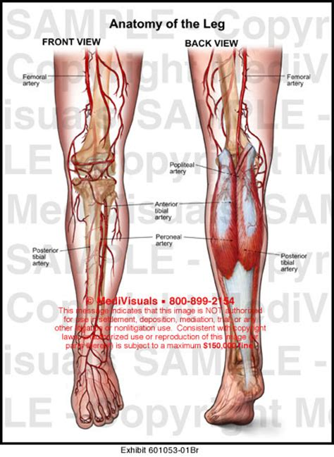 medivisuals anatomy   leg medical illustration