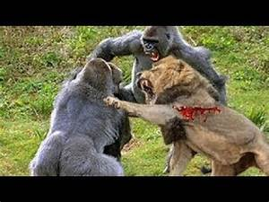 GORILLA vs LION Real Fight Lions Kill and Eat Baboon ...