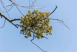 Mistletoe - Venerable Trees