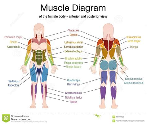 Be sure to check the flash card list given in class. Human Muscles Diagram : human-leg-muscles-diagram | Anatomy for Artists ... - The muscles that ...
