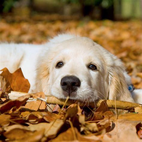 Golden Retriever Puppy Wallpaper by Golden Retriever Puppies Wallpaper 56 Images
