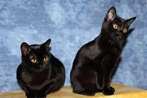 Katzen Fernhalten Von Möbeln : bombay katze wikipedia ~ Michelbontemps.com Haus und Dekorationen