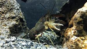 Aquarium Size Chart Aquarium Crayfish Think About A Species Tank Video