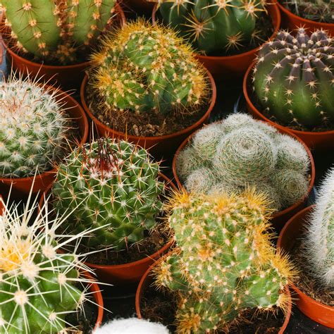 SET OF 10 MIXED CACTUS PLANTS 5.5CM POTS + GARDENERS DREAM ...
