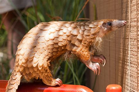 pangolins lorises turtles ravaged  illegal wildlife