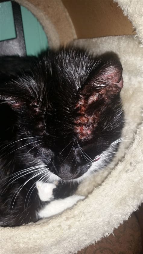 ear mites  face rash thecatsite