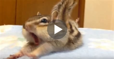 pet chipmunk   funniest reaction   discovers