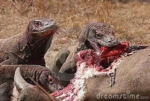 Komodo Dragons Eating Wild Buffalo Stock Images - Image ...
