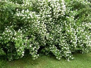 Schnell Wachsende Büsche : nachtduftende pflanzen f r den garten arten pflegetipps ~ A.2002-acura-tl-radio.info Haus und Dekorationen