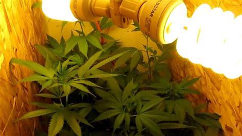 cheap grow lights growing marijuana with only cfl lights cheap