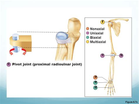 Classification Of Synovial Joints
