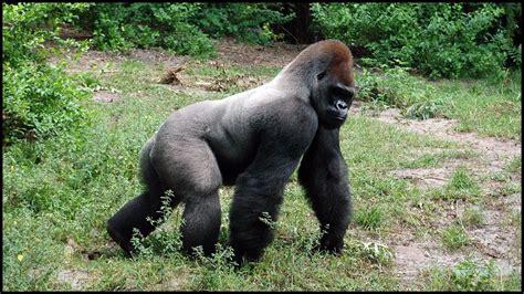 silverback gorillas gorilla gorilla youtube