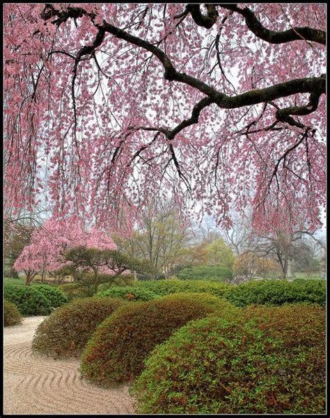 Cherry Blossom Zen   St. Louis Public Radio
