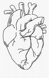 Heart Coloring Anatomy Tattoo Hearttattoo Anatomicalheart Human Approachingtheelephant Musclees Bones Clipartkey sketch template