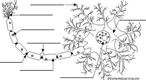 label neuron anatomy printout enchantedlearning
