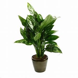 Plantes à Suspendre : aglaon ma plante 17cm pot plantes vertes d 39 int rieur ~ Premium-room.com Idées de Décoration