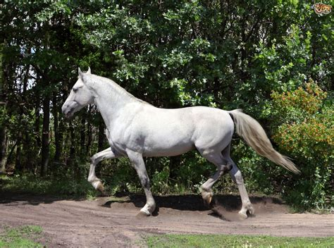 andalusian horse breeds horses breed pets4homes facts spain information