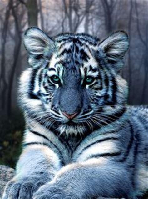 Images About Maltese Tiger Pinterest