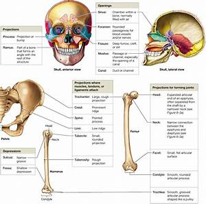 6 2  Bones Are Classified According To Shape And Structure